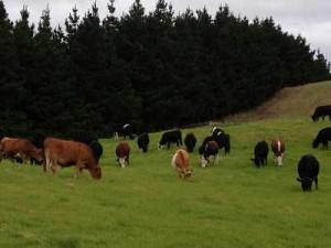 Cattle eating grass