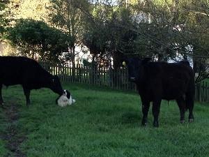 牛と牧羊犬