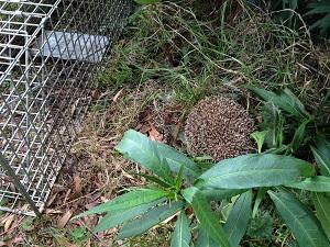 trapped-hedgehog