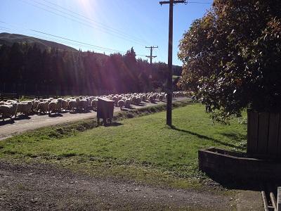羊の大移動