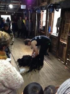 sheep shaering