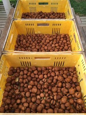 クルミの収穫
