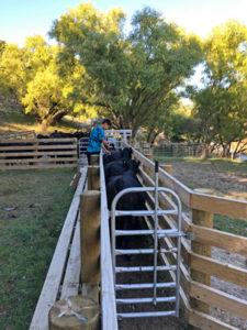 牛のハンドリングヤード
