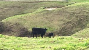 2021年生まれの仔牛